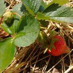 Aardbeien – Jagode